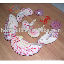 ISO Highly Detailed Brain Model with Cerebral Artery, Brain with Artery