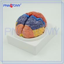PNT-0612 Modèle anatomique de cerveau médical, modèles de cerveau en plastique