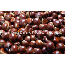 Fresh Chestnut with Competetive Price