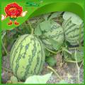 Bauernhof Wassermelone leckere Melone in heißen Jahreszeit Melonen