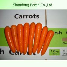 Cenouras frescas artísticas chinesas Carrrot orgânico
