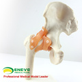 JOINT06 (12353) Medical Anatomy Natural Size Hip Joint Models