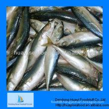 pacific mackerel scomber japonicus
