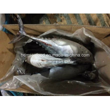 New Coming Whole Round Bonito Fish (750g+)