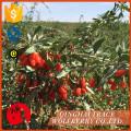 Бесплатный образец, изготовленный в Китае, высочайшее качество сушеных ягод Goji