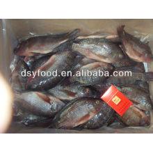new black tilapia fish