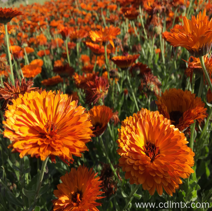 Calendula officinalis seeds for planting