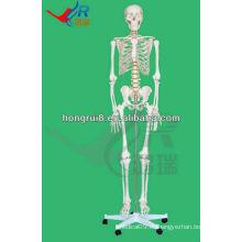 Esqueleto humano humano del modelo los huesos del esqueleto del 180cm