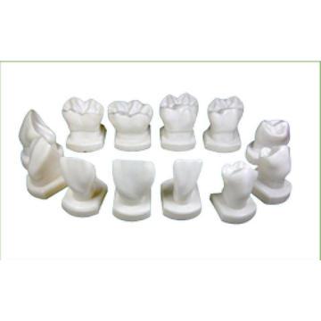 TM-D14 Teeth Form Model for Dental Teachjing