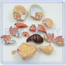 PNT-0322 Best price of male/female torso model with organ for hospitality industries