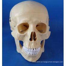 Modelo Médico de crânio humano de alta qualidade para o ensino (R020611)