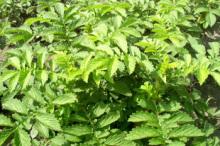 Agrimonia pilosa extract