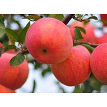2016 Fresh Red FUJI Apple for American Market