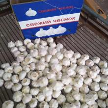 pure white garlic in 5.6kg carton