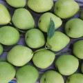 Saúde de cor verde Shandong Pear