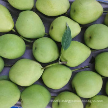 New Harvest of Fresh Shandong Pear
