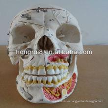 Cráneo humano avanzado con sangre y nervios