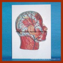 Modelo de media cabeza con musculatura Vasos sanguíneos Nervios