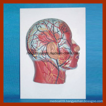 Half Head Model with Musculature Blood Vessels Nerves
