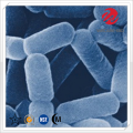 Lactobacillus Paracasei Freeze Dried Powder
