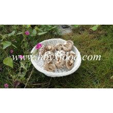 Cogumelos da qualidade da flor branca secados