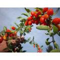 Medlar Dried Goji Berry (Wolfberry)