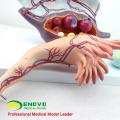 ANATOMY27 (12465) клинические женского увеличения яичников структура анатомическая модель, 3 части,5 раз увеличить, Анатомия беременности модели