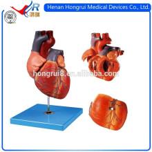 ISO Обучение демонстрационной модели сердца для взрослых