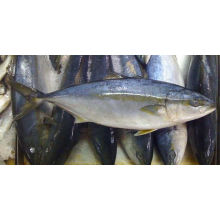 frozen yellow tail fish for sale