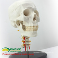 SKULL06 (12332) Plastic Anatomical Skull With Cervical Spine Model