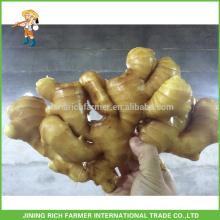 Hot Sale Chinese Fresh Ginger Low Prices CNF Price