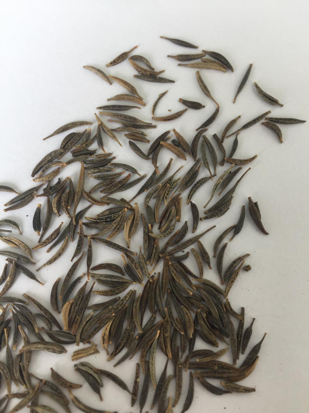 High buding rate fresh coreopsis seeds