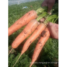 Fresh Carrot With Good Quality