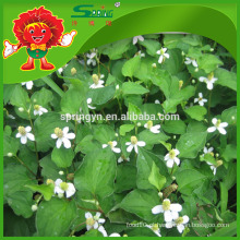 Houttuynia puro Yu Xing Cao natural Heartleaf houttuynia cordata thunb