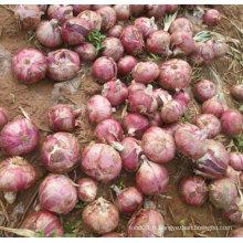 Nouvelle culture d'oignons rouges frais (5-7cm)
