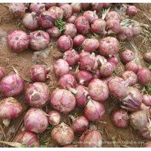 Нового урожая свежий Красный лук (5-7см)