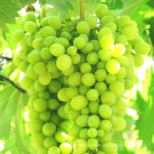Fertilizante Foliar de Frutas (Vitamina + NPK + Aminoácido)