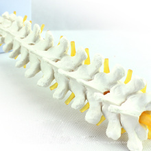VERTEBRA14 (12390) медицинские науки грудных позвонков человека и модель скелета межпозвонковых дисков