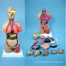 Human Anatomy Body Model for Medical Teaching