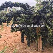 2017 heißer Verkauf schwarz Goji Beere junge Sämlinge