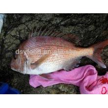 Sauberer roter Seabream Fisch