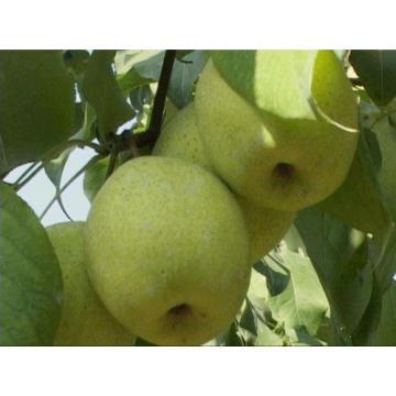 Frische Shandong Birne