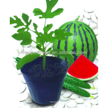 RT01 Graines de porte-greffes hybrides Yeland f1 pour melon d'eau, melon et concombre