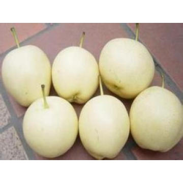 Supply The 2016 Crop Fresh Sweet Nutritions Ya Pear with Low Price
