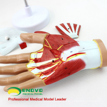 MUSCLE08 (12031) Human Hand Anatomy Muscle 4-Parts Medical Education Modelo 12031