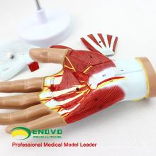 MUSCLE08(12031) человеческая рука Анатомия мышц 4-части модели медицинского образования 12031