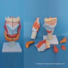 Human Laryngeal Parts Medical Anatomy Model (R070114)