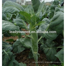 MKL03 Gaoshuai mid-maturity chinese big-stalk kailan seeds