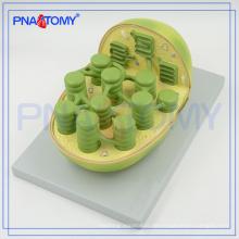 PNT-0837 Schule verwendetes biologisches Autoplastmodell