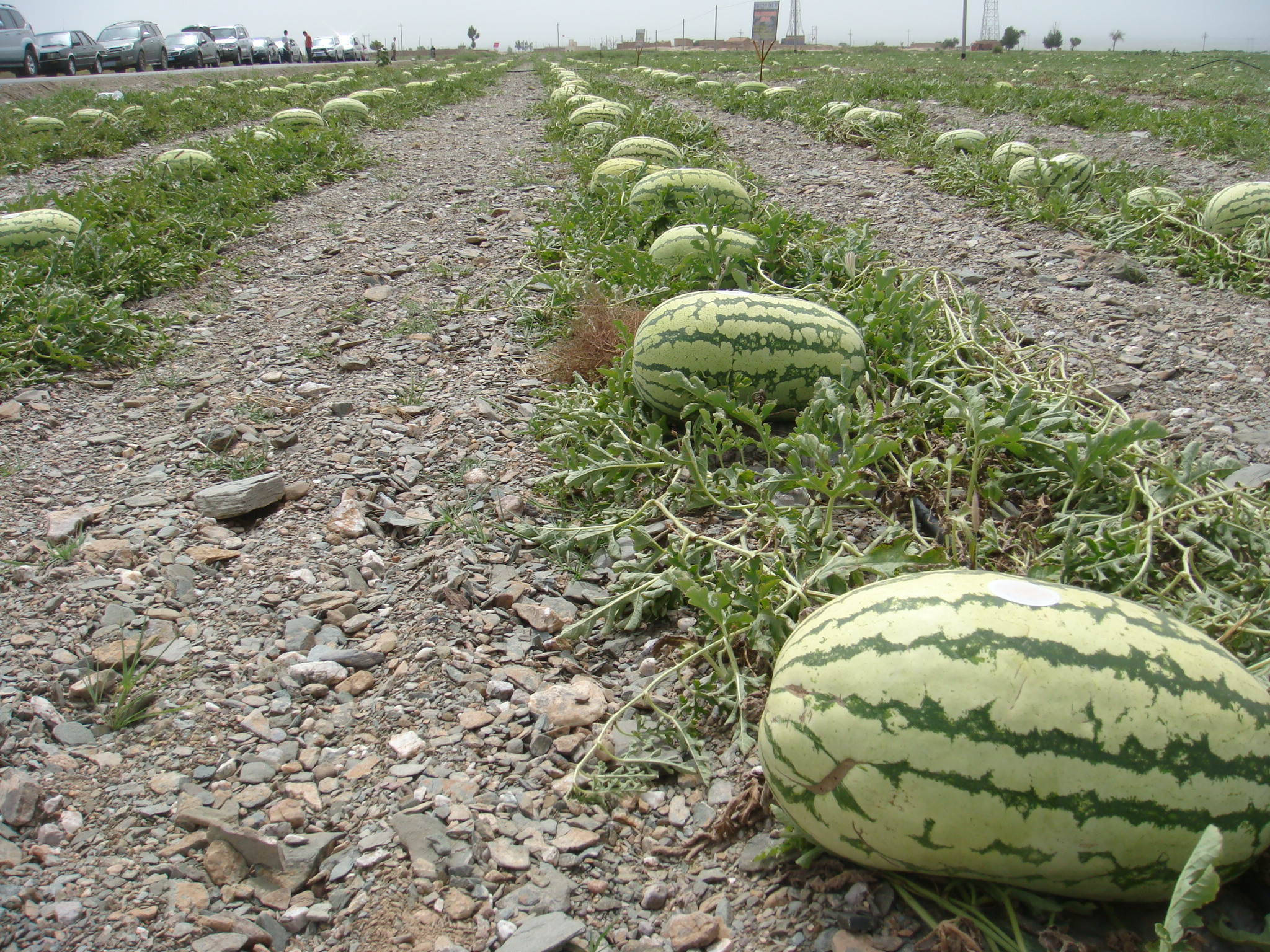 Best Watermelon Seeds for Planting